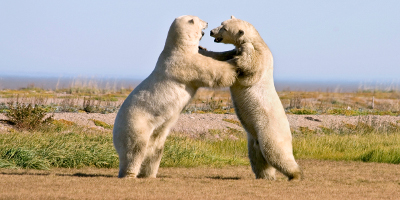 Two Polar Bears Fighting On Land