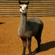 Adopt an Alpaca with tickets to Paradise Wildlife Park