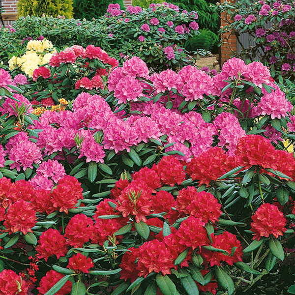Mixed Rhododendron - 23cm