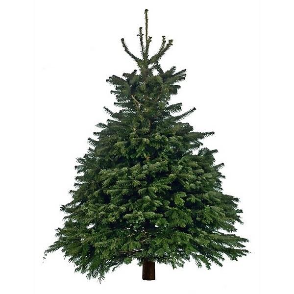 6-7ft Nordman Fir Real Cut Christmas Tree