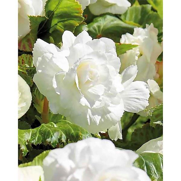 Begonia- White - Summer Bloom Bulbs