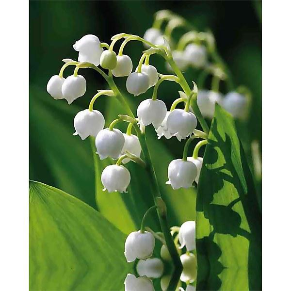 Convallaria - Summer Bloom Bulbs