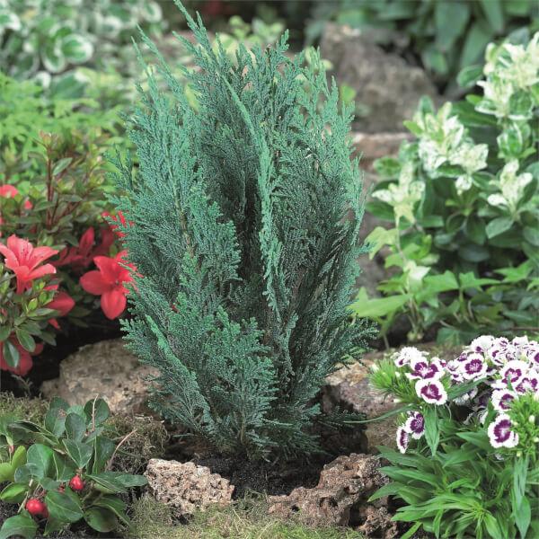 4L Hedging Conifer
