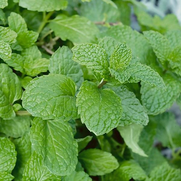 Garden Mint - 1l