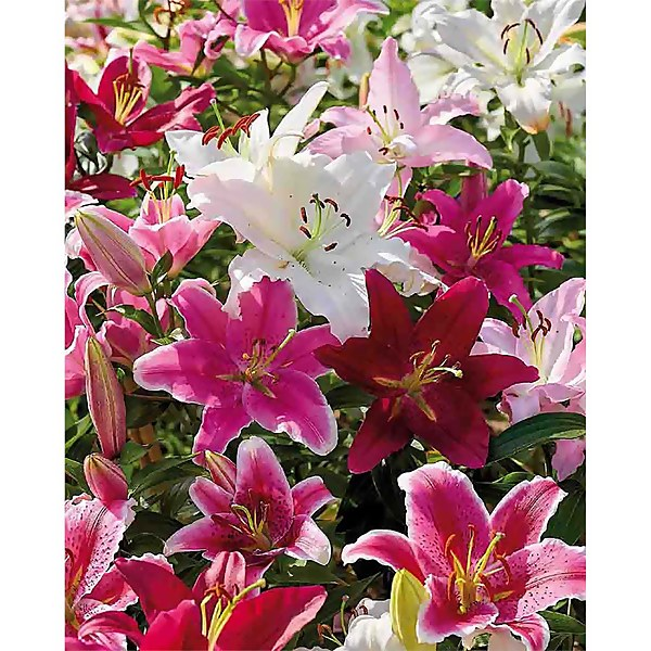 Mixed Lilies' - Summer Bloom Bulbs
