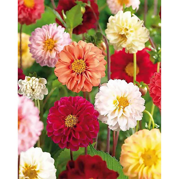 Mixed Unwin Dahlia's - Summer Bloom Bulbs