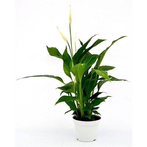 Spathiphyllum (Peace Lily) Houseplant - 13cm