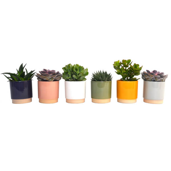 Succulent in Eno Duo Pot - 13cm