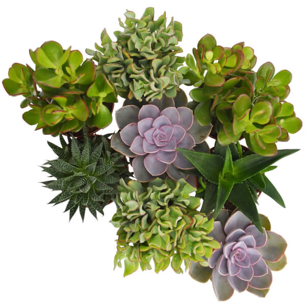 Succulent Mix 12cm