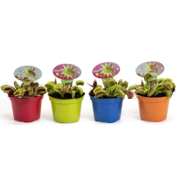 Venus Fly Trap (Multiple Options Available)