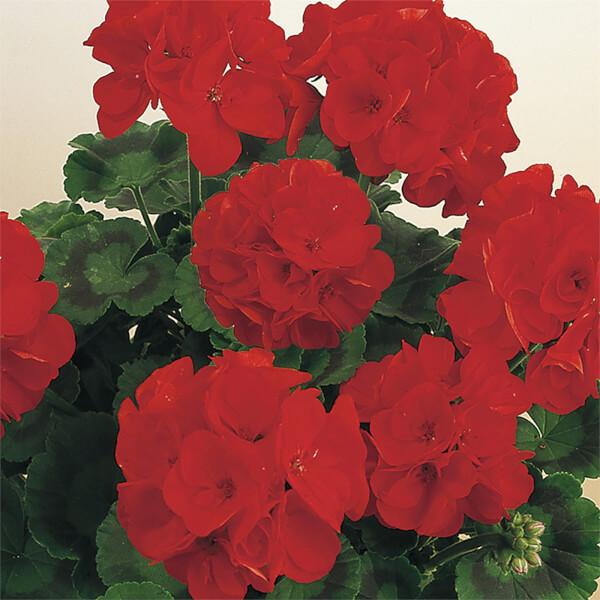 Geranium Red - 1L