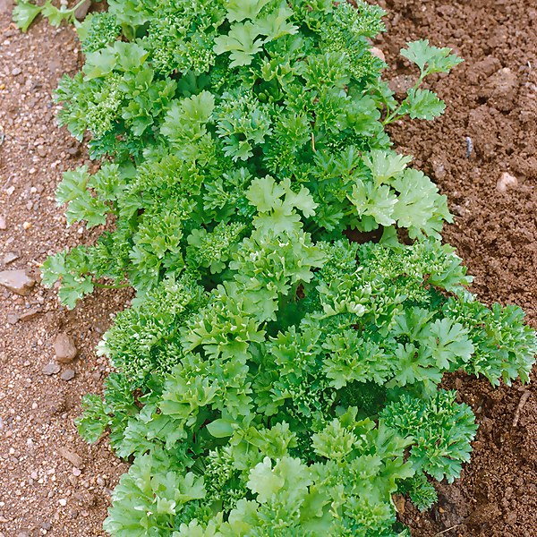 Curled Parsley - 1L