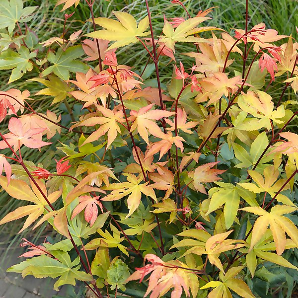 Acer Mixed - 19cm