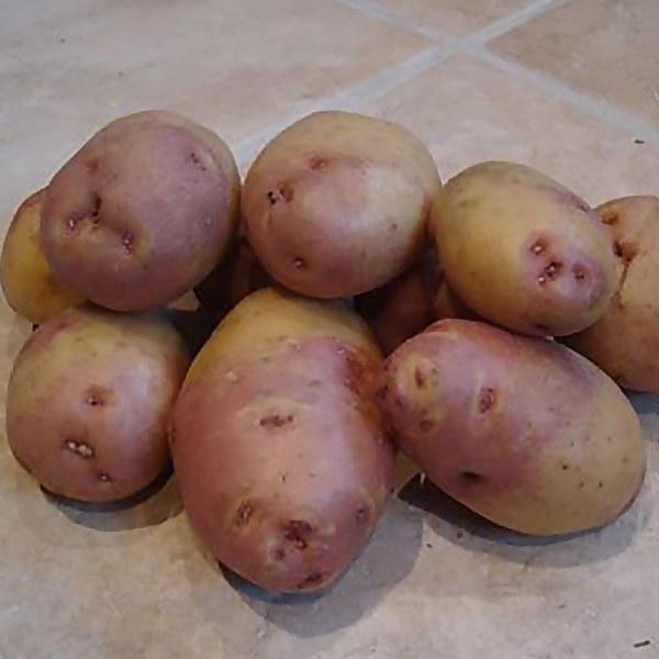 King Edward' Seed Potato 1.5KG