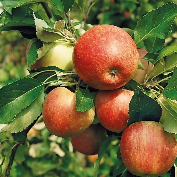 James Grieve Apple 7.5L