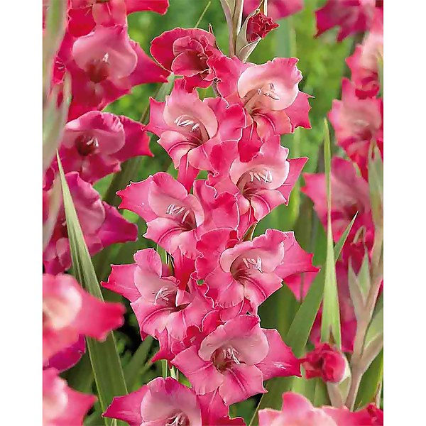 Large Flowering Gladioli Fado