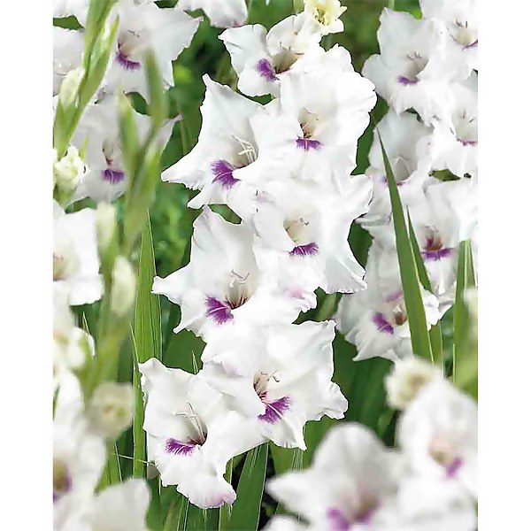 Large Flowering Gladioli Home Coming