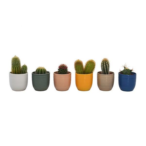 Cactus in Cella pot 7cm