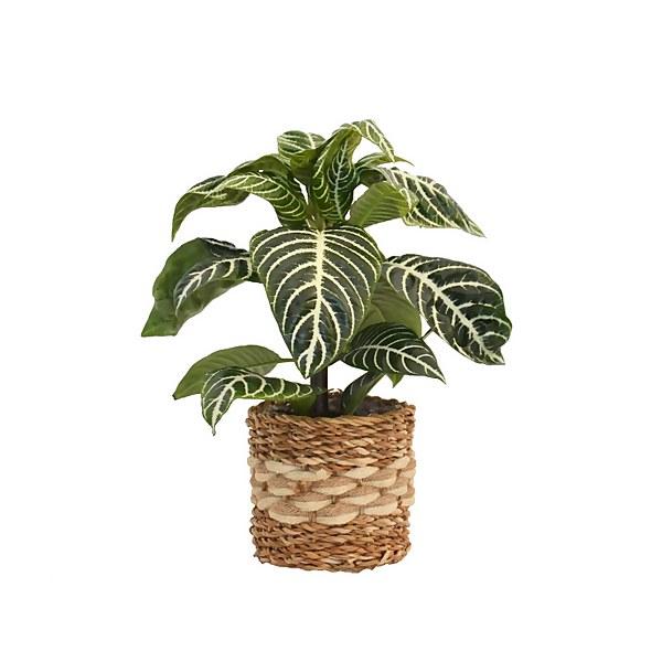 Zebra Plant in Basket 14cm