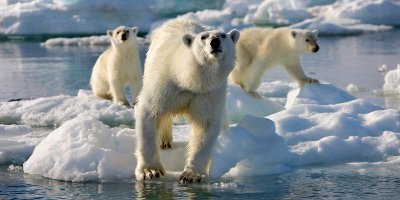 Three Polar Bears Walking Across Ice