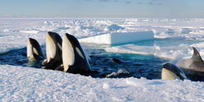 Five Killer Whales Coming Up Out Of Water Through A Hole In The Ice