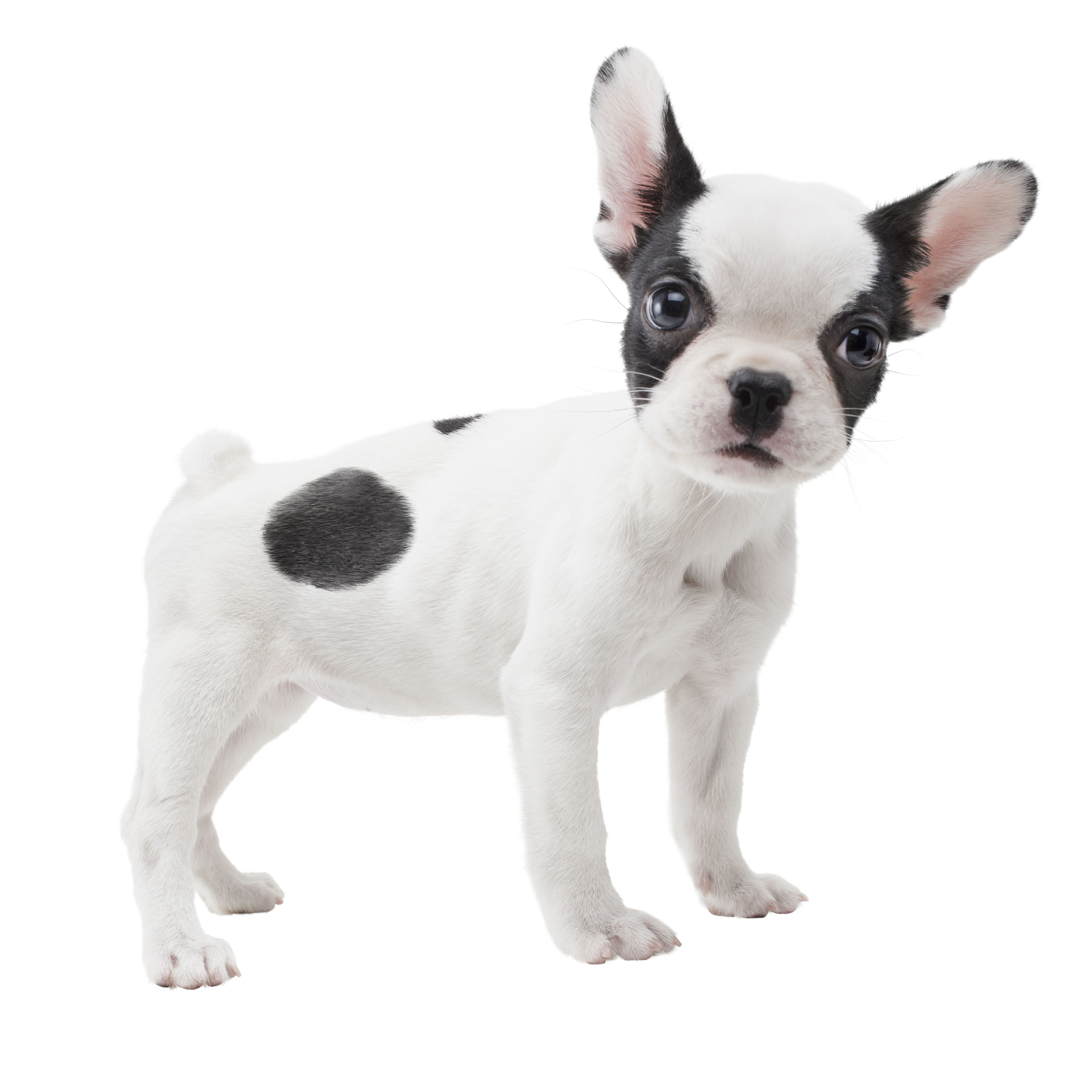 Small Dog Large Ears Pug Face