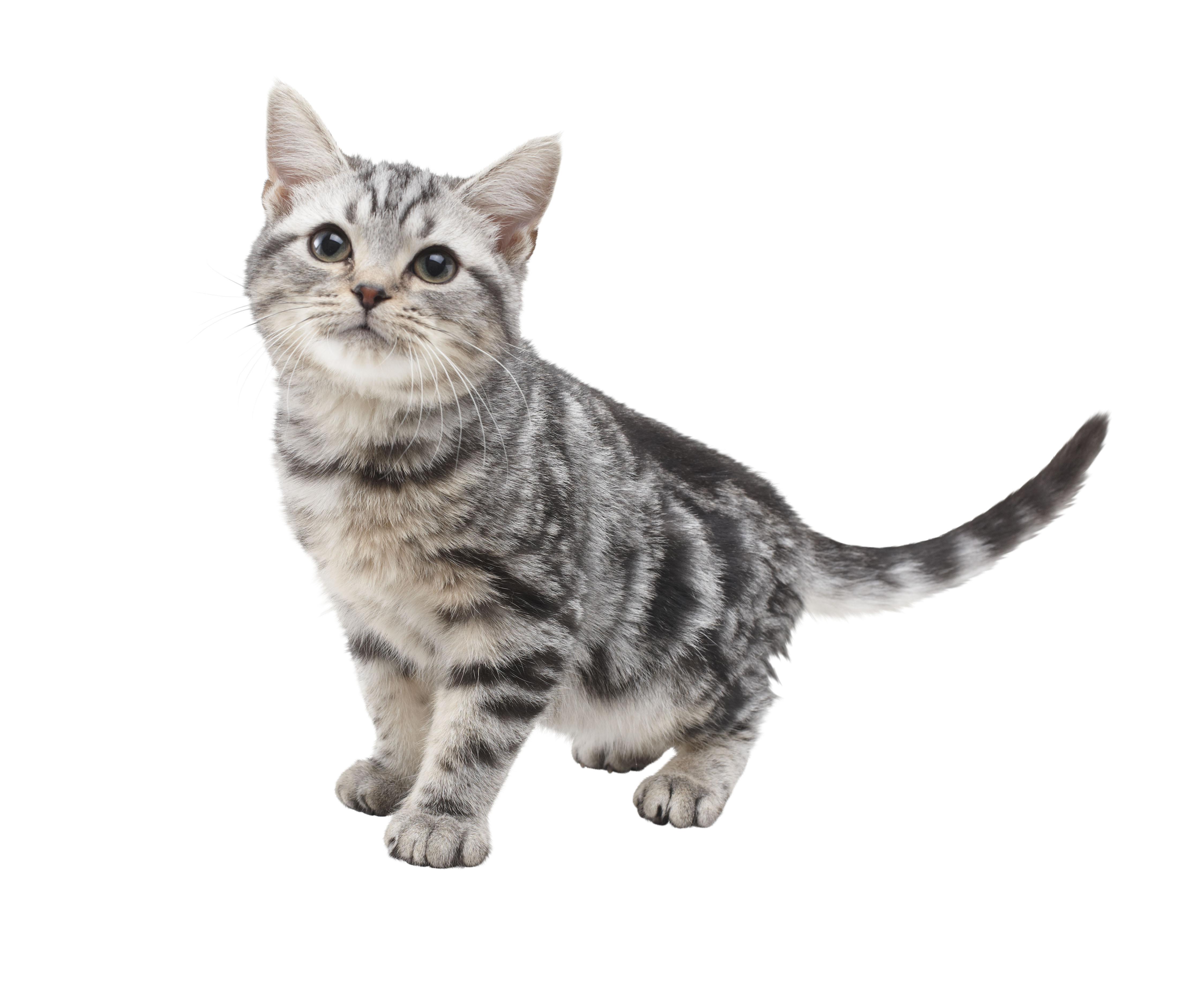 любовь полосатый кот картинка на прозрачном фоне душевное