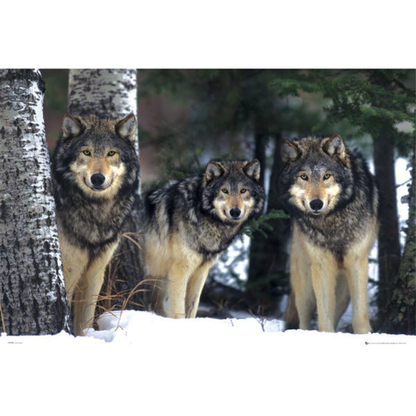 Wolves - Maxi Poster - 61 x 91.5cm