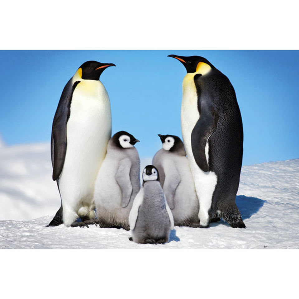 Penguins Family - Maxi Poster - 61 x 91.5cm