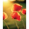 Poppies Glow - Mini Poster - 40 x 50cm: Image 1