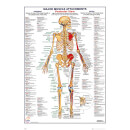 Human Body Major Muscle Attachments Posterior - 61 x 91.5cm Maxi Poster