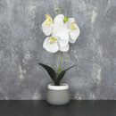 Candlelight Orchid in Cement Grey Pot - Cream