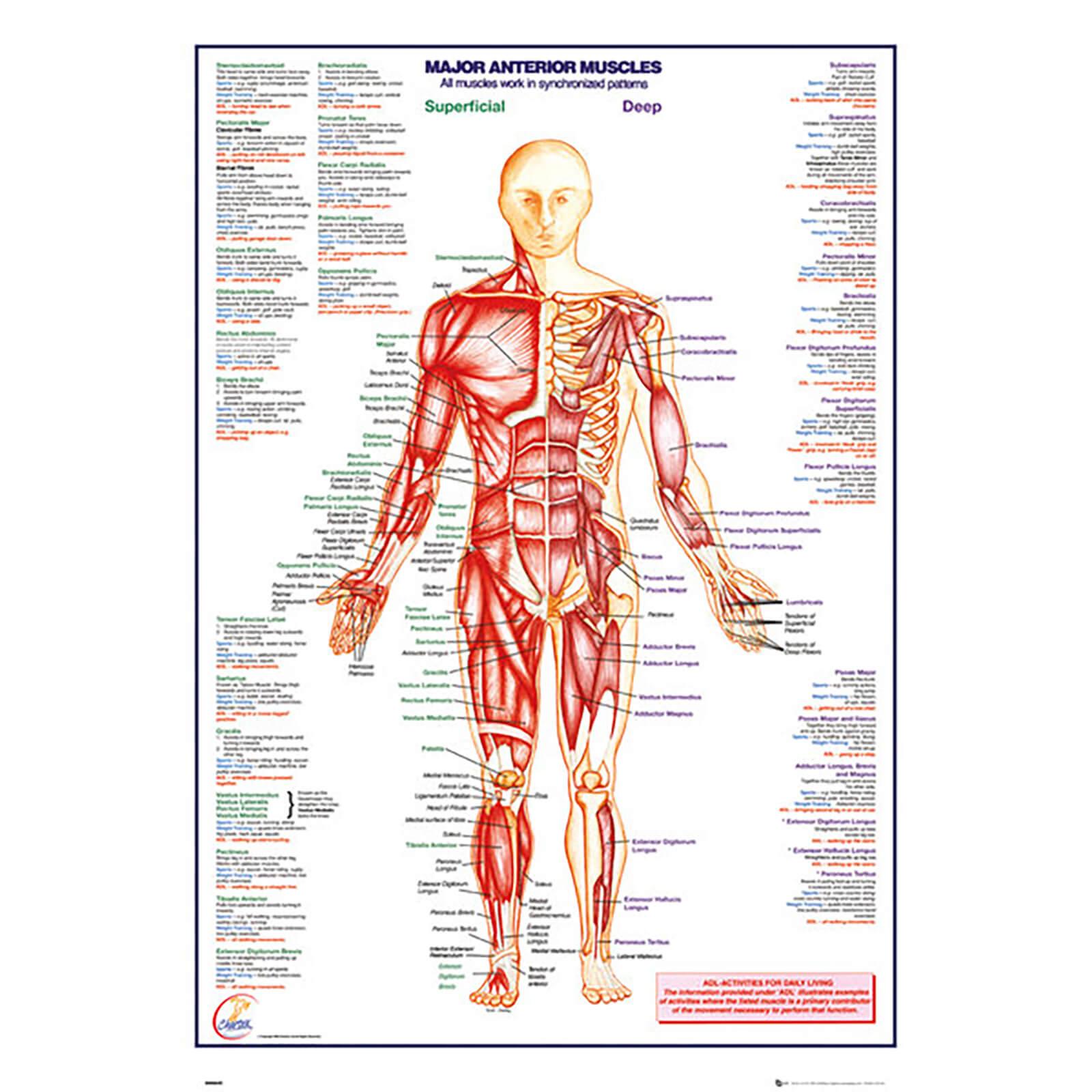 Human Body Major Anterior Muscles - 61 x 91.5cm Maxi Poster ...