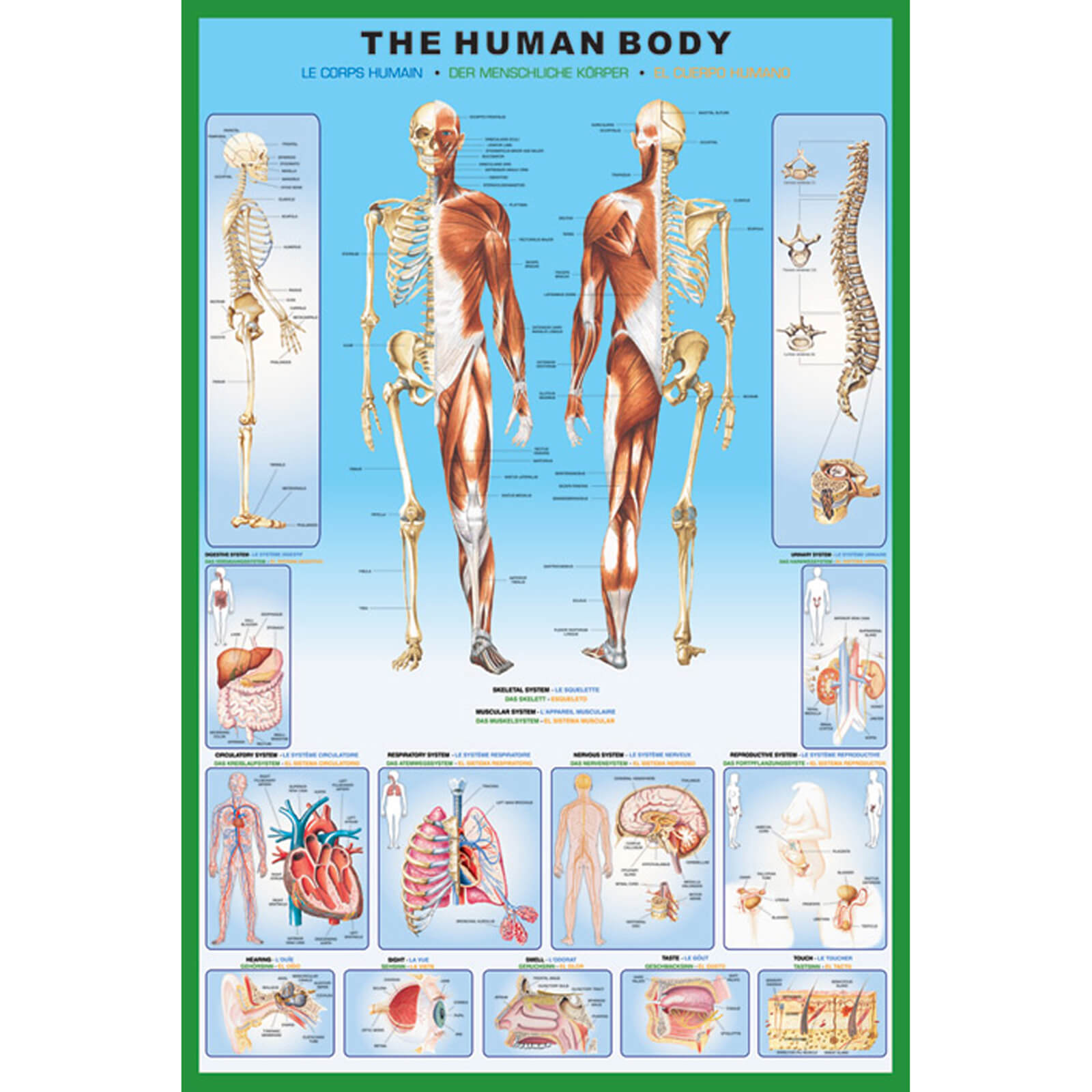The Human Body - 61 x 91.5cm Maxi Poster
