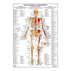 Human Body Major Muscle Attachments Anterior - 61 x 91.5cm Maxi Poster