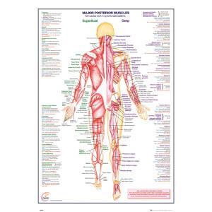 Human Body Major Posterior Muscles - 61 x 91.5cm Maxi Poster