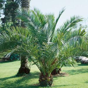 Canary Island Date Palm - 18cm