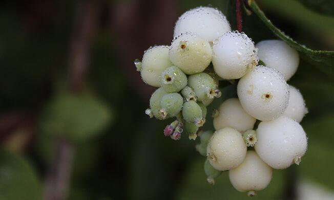 Snowberry Plant