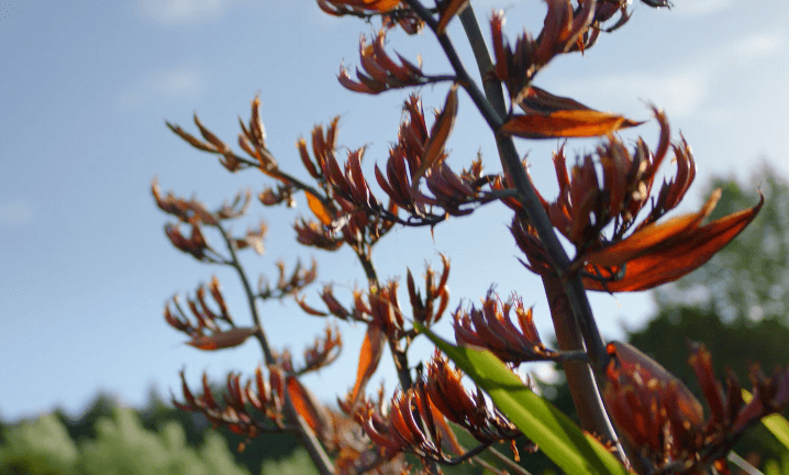New Zealand Flax seeds