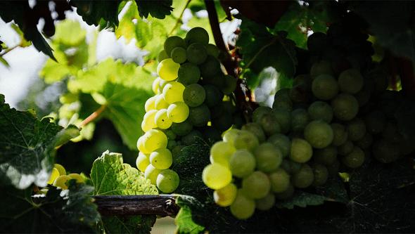 Repurposed Vinanza Grape
