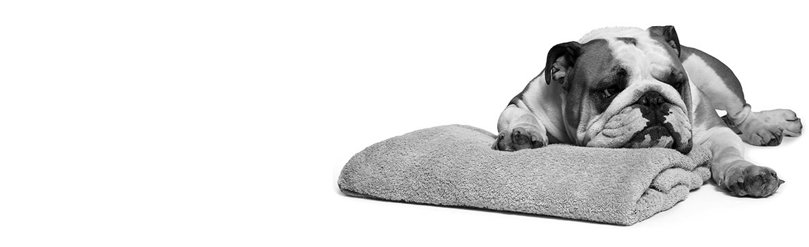 Bulldog hund ligger på en håndklæde